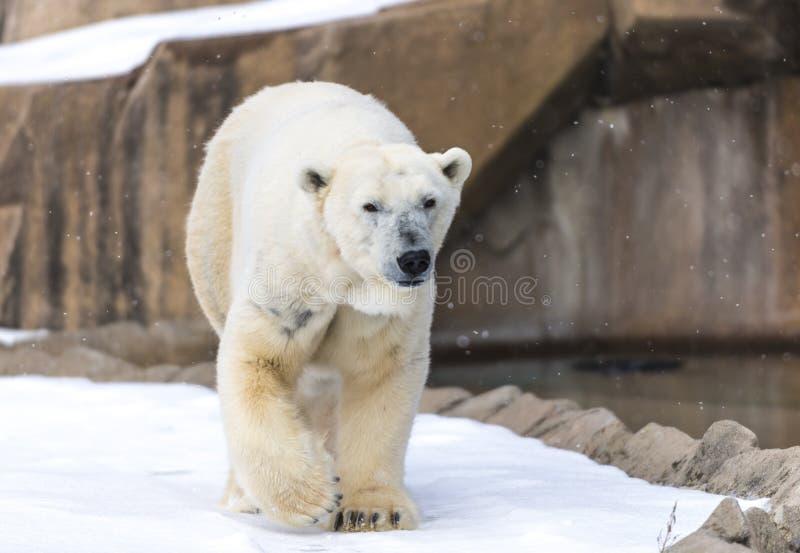 Polar Bear - Ursus maritimus. Walking near the water royalty free stock photography