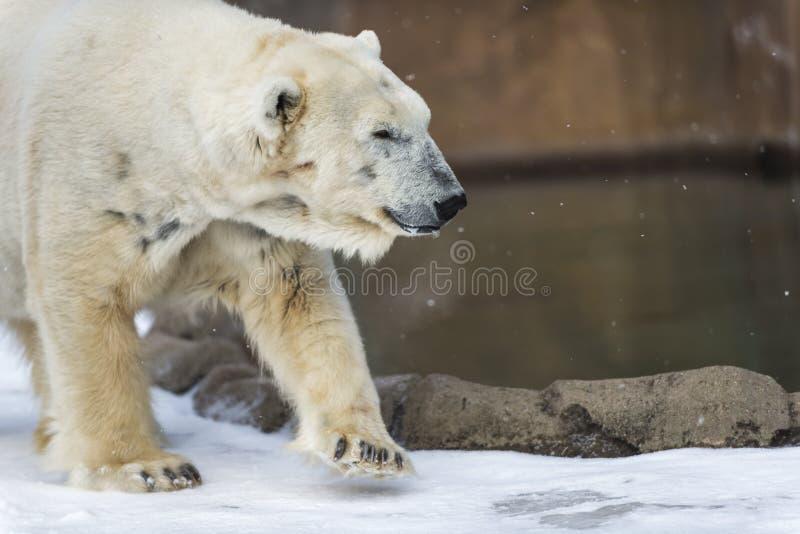 Polar Bear - Ursus maritimus. Walking near the water stock image