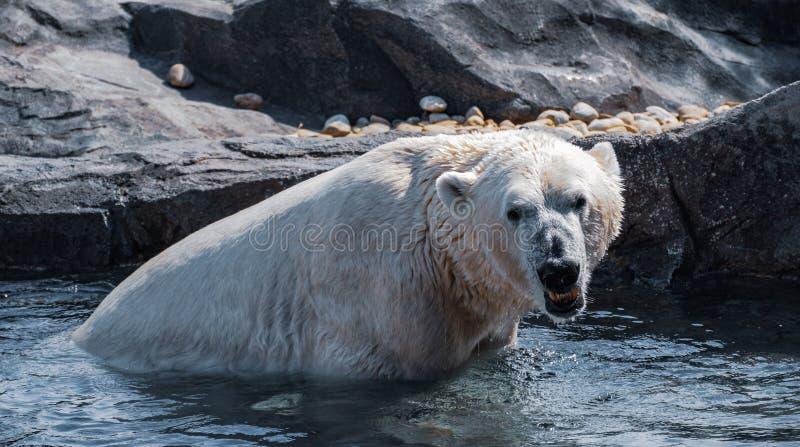 Polar bear at vienna zoo. Polar bear playing in the pool stock images