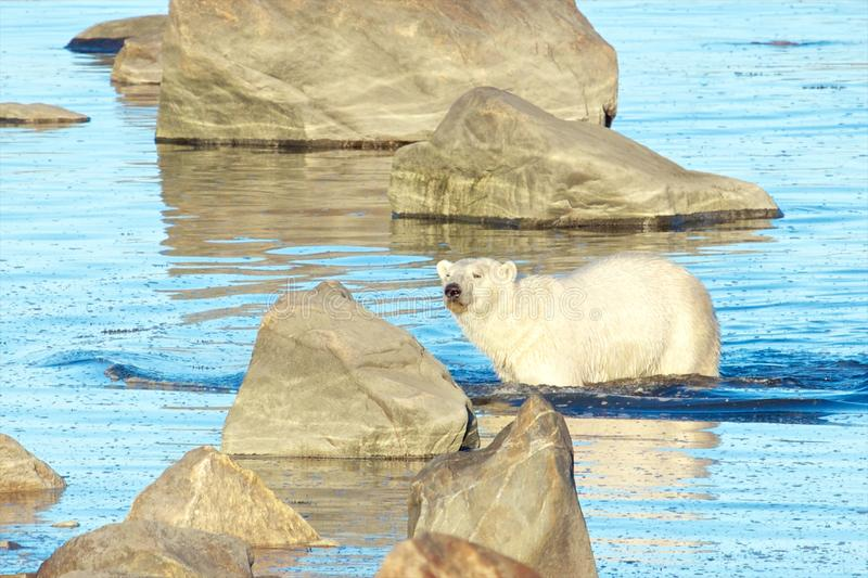 Polar Bear wading in the water. Curious Canadian Polar Bear wading through the cold waters of the Hudson Bay near Churchill, Manitoba, in summer stock image