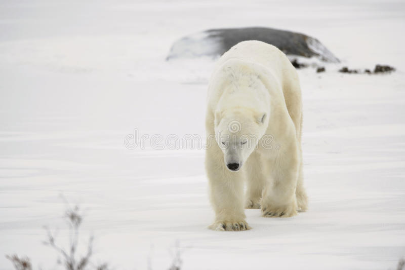 Polar bear walk. Polar bear. The polar bear goes on snow blindly royalty free stock images