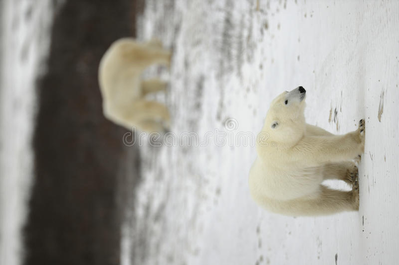 Polar bear walk. Polar bear. The polar bear goes on snow blindly stock image