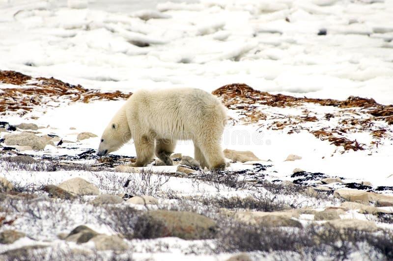 Polar Bear Walking Stock Images