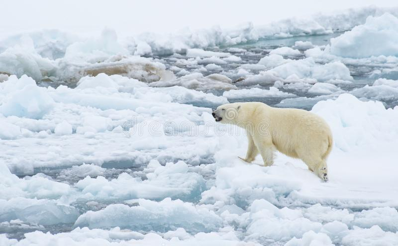 Polar bear walking in an arctic. Polar bear walking in an arctic landscape sniffing around stock images