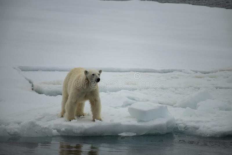 Polar bear walking in an arctic. Polar bear walking in an arctic landscape sniffing around stock photo