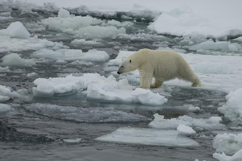 Polar bear walking in an arctic. Polar bear walking in an arctic landscape sniffing around stock photography