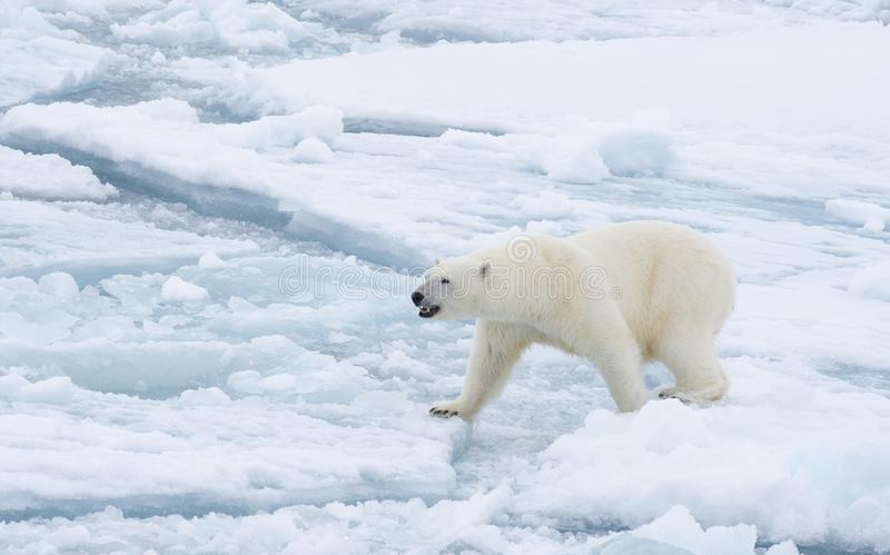 Polar bear walking in an arctic. Polar bear walking in an arctic landscape sniffing around royalty free stock images