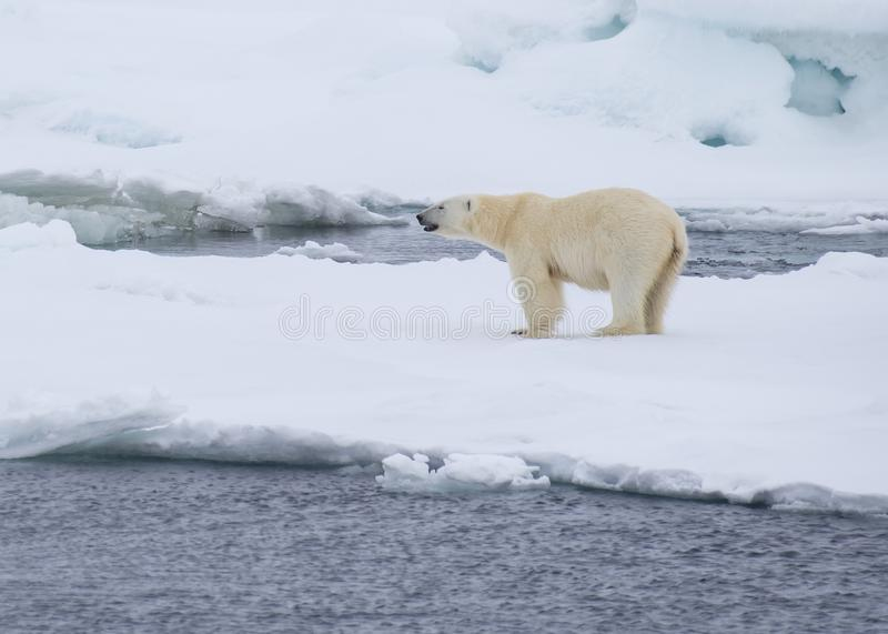Polar bear walking in an arctic. Polar bear walking in an arctic landscape sniffing around stock photos