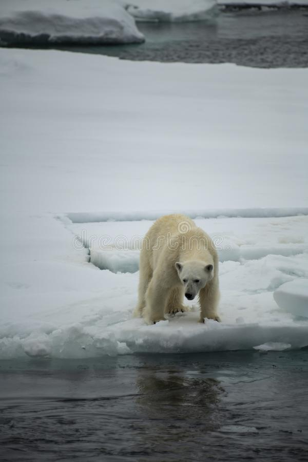 Polar bear walking in an arctic. Polar bear walking in an arctic landscape sniffing around stock image