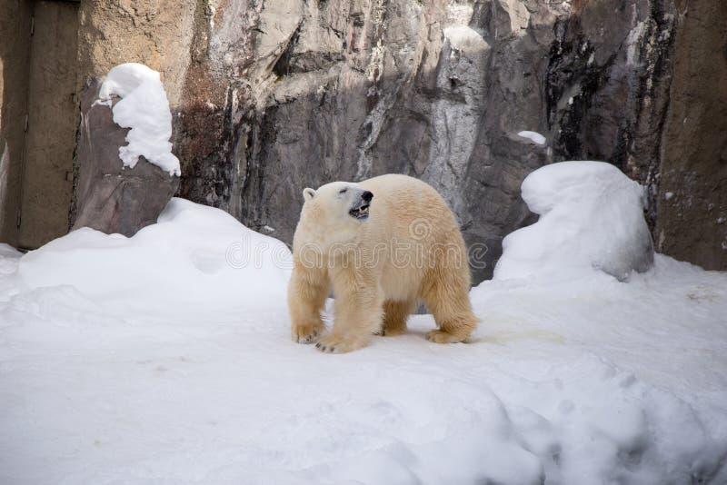 Polar bear walking around cage with white fur royalty free stock photography