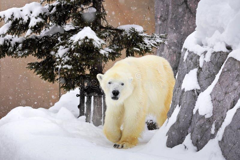 A polar bear walking around rock on snow stock photo