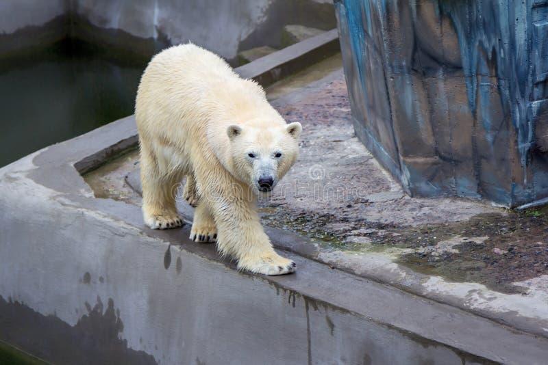 Polar bear walking. Big white polar bear walking at zoo stock photography