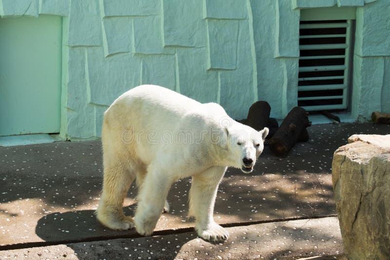 A polar bear walking stock image