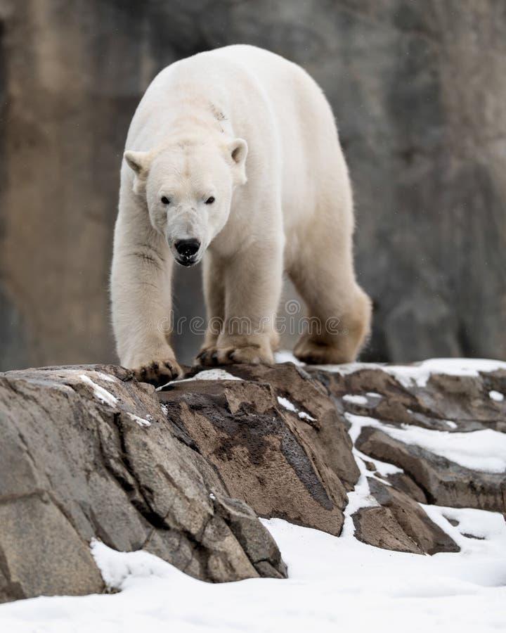 Polar bear walking on rocks stock photo