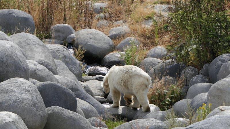 Polar bear walking on rocks royalty free stock image