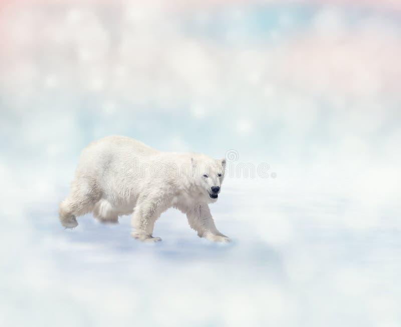Polar Bear walking stock photography