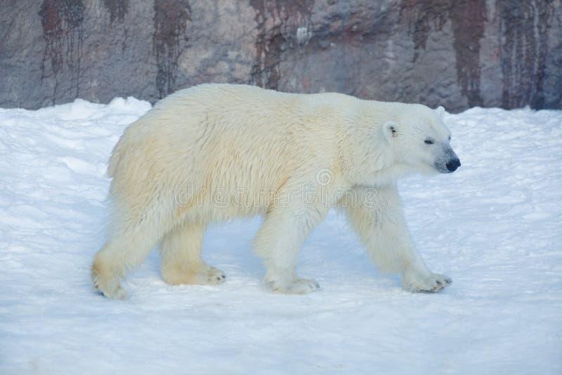 Polar bear is walking on a white snow. Ursus maritimus or Thalarctos Maritimus royalty free stock photography
