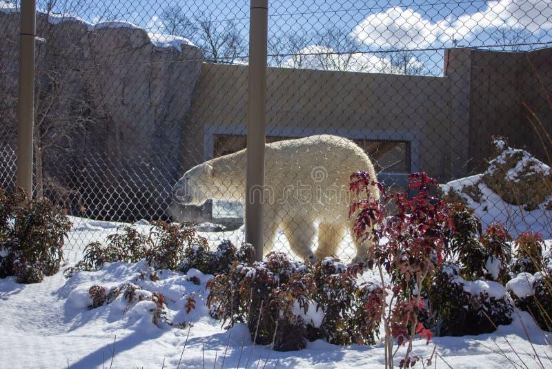 Polar bear walking in a zoo in winter stock image