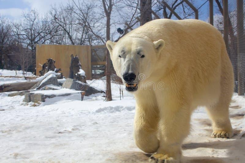 Polar bear walking in a zoo in winter stock photo