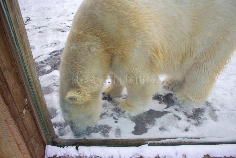 Polar bear walking in a zoo in winter stock photos
