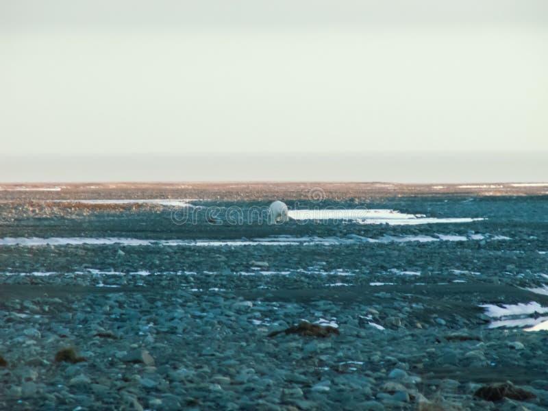 A polar bear walks along a slope stock photography