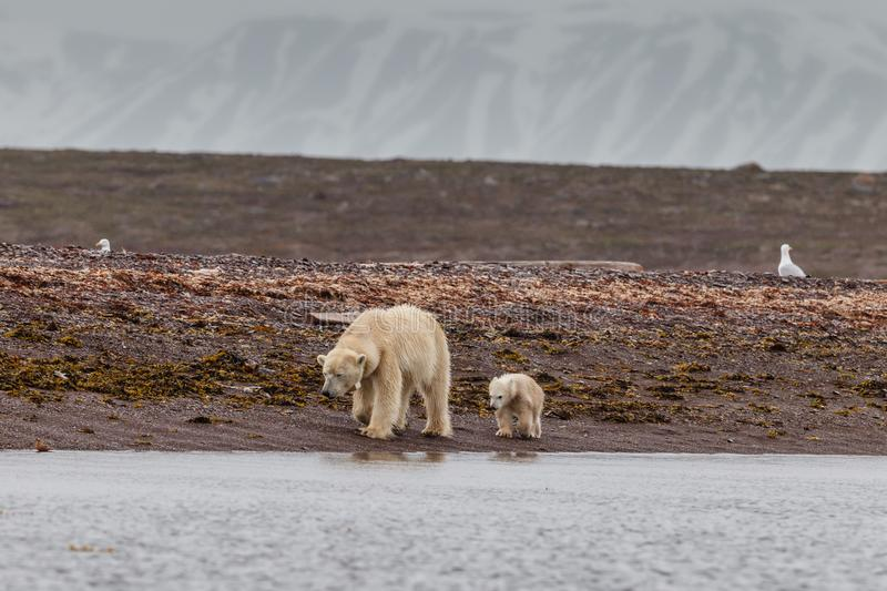 Polar bear walks with a cub in search of food royalty free stock photos