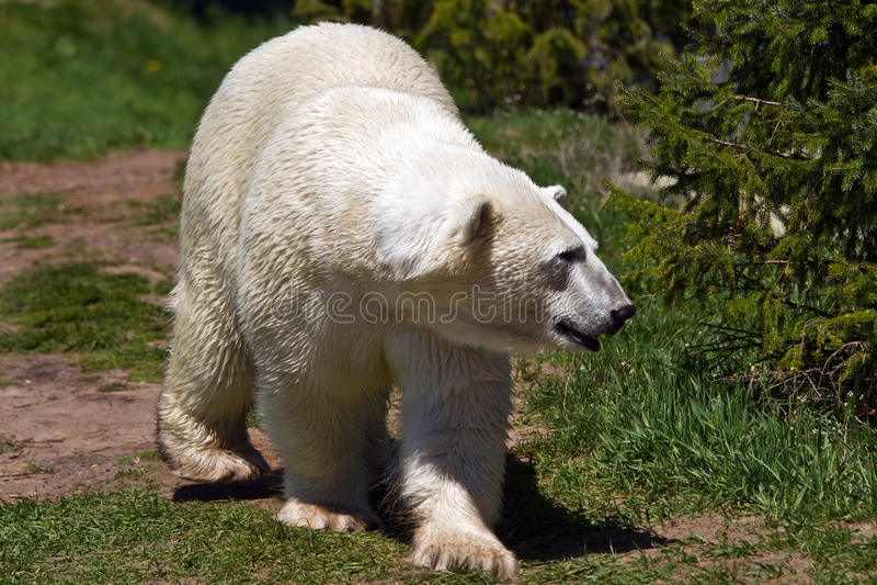Download Polar Bear stock photo. Image of seas, open, cold, furry - 33307912