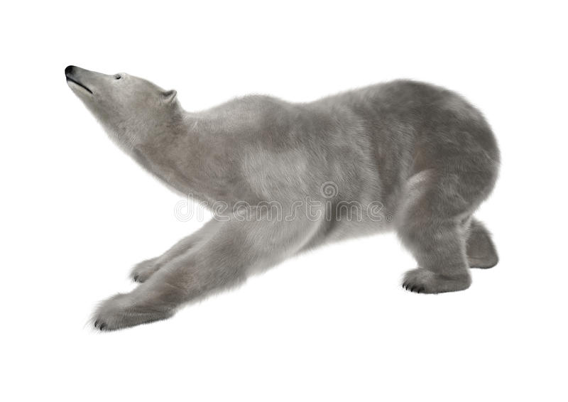 Polar Bear on White. 3D digital render of a polar bear stretching isolated on white background stock photography