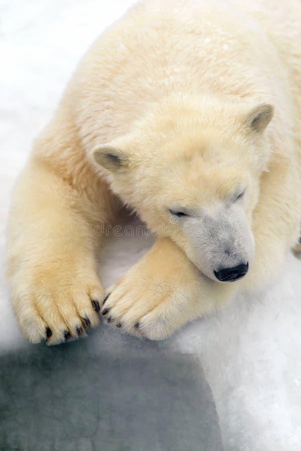 Polar bear on white snow. Animals: polar bear having a rest on white snow stock photos