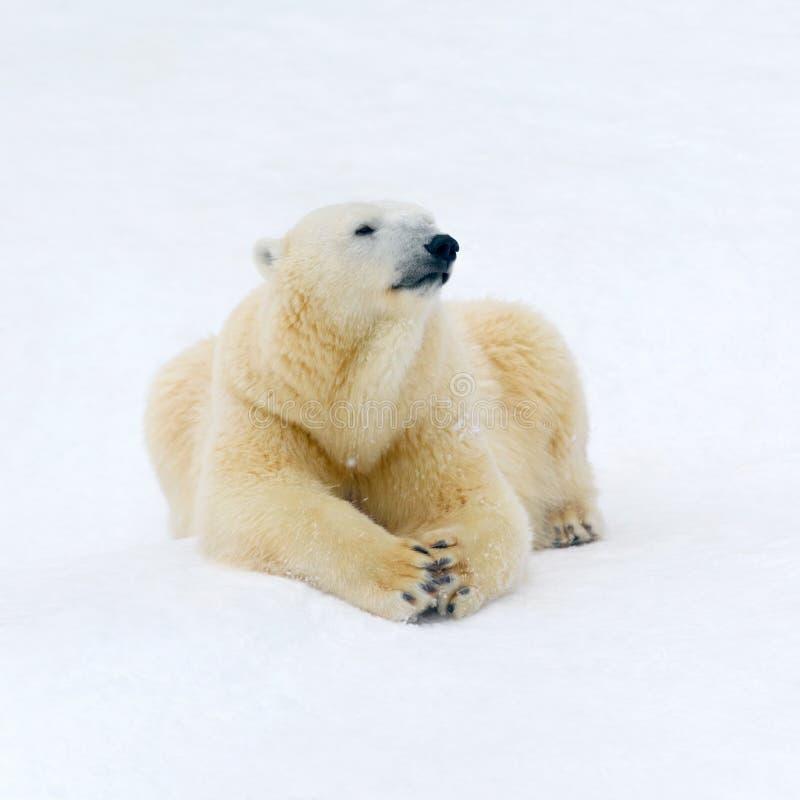 Polar bear on white snow. Animals: polar bear having a rest on white snow stock photo
