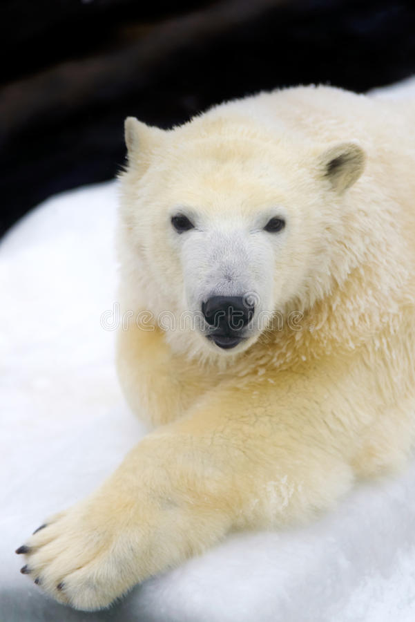 Polar bear on white snow. Animals: polar bear having a rest on white snow royalty free stock photography