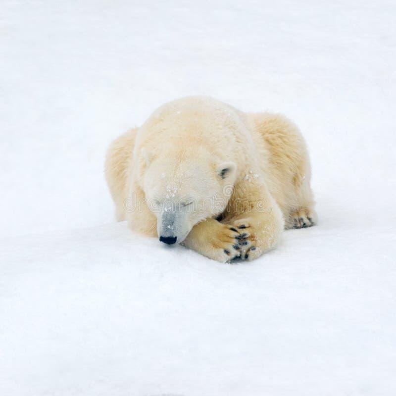 Polar bear on white snow. Animals: polar bear having a rest on white snow royalty free stock images