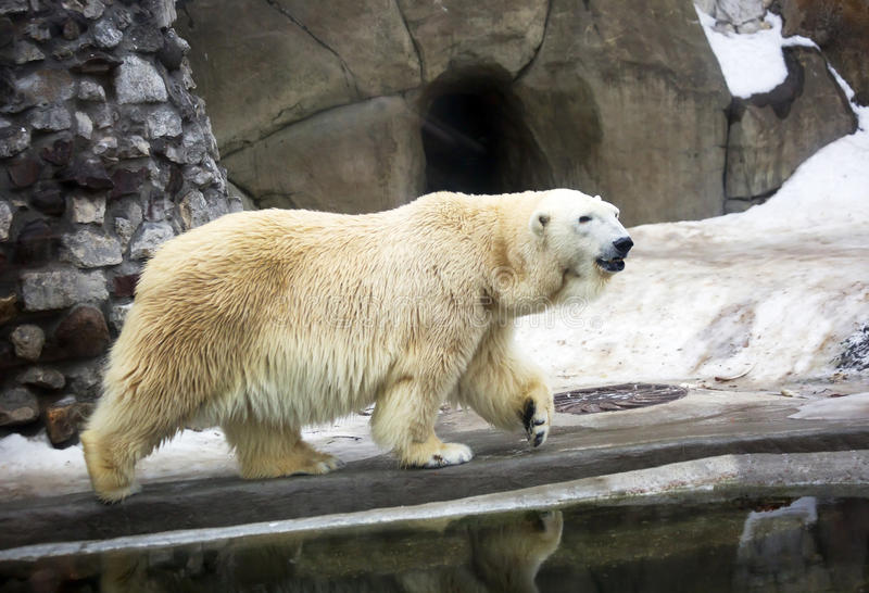 Polar bear. White bear is a typical inhabitant of the Arctic. The polar bear is the largest representative of the entire detachment of prey royalty free stock photography