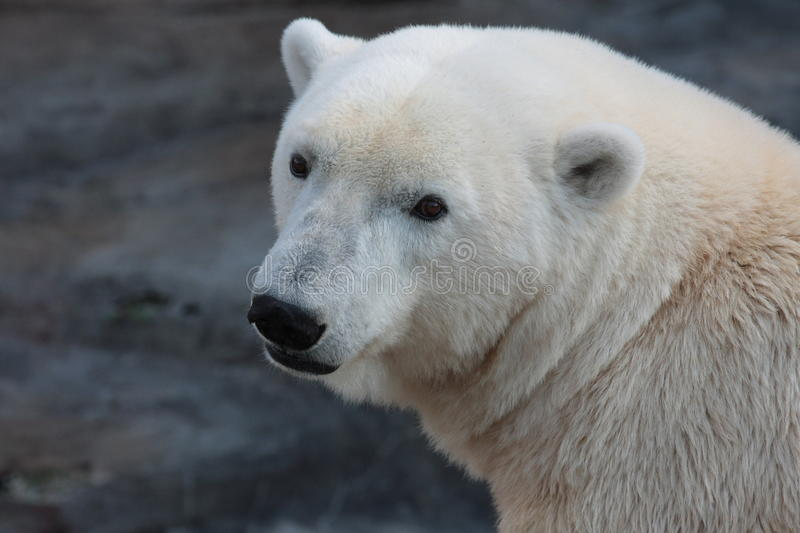 A polar bear in a ZOO. A sleepy polar bear in a ZOO in Vienna / Austria stock photos
