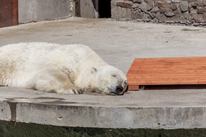 Polar bear in the zoo, polar bear in captivity. On a hot summer day, a polar bear sits in captivity, at the zoo, Russia royalty free stock image