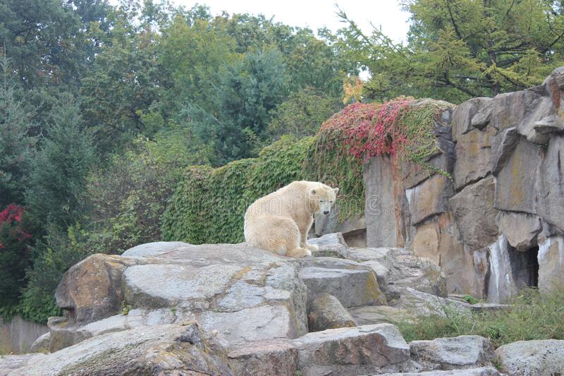 Polar Bear complains about Global Warming. Polar Bear in the zoo complains about global warming royalty free stock images