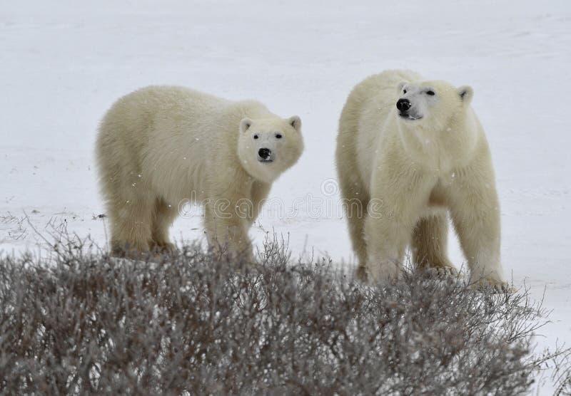 Polar bears. royalty free stock photo