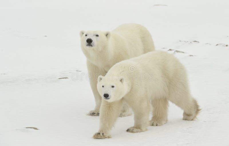Polar bears. royalty free stock images