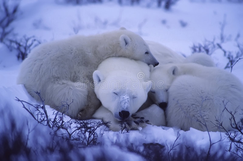 Polar bears. Polar bear with her cubs huddled together for warmth