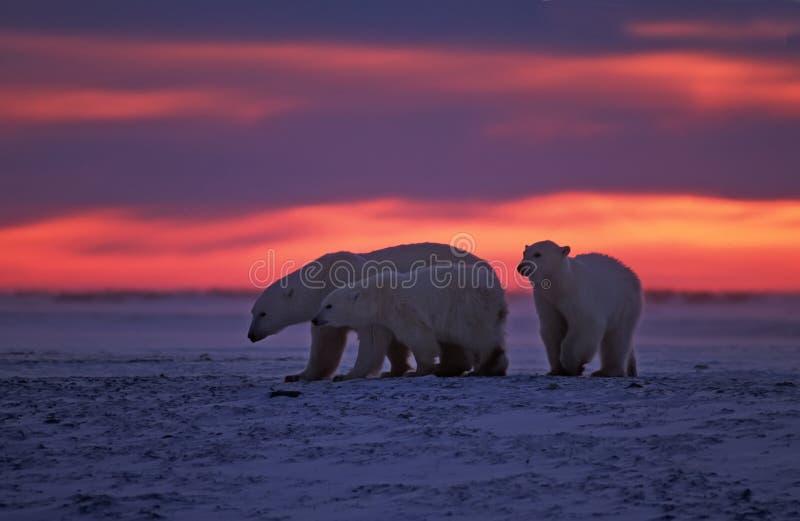 Download Polar bears stock photo. Image of winter, bear, bears - 5968266