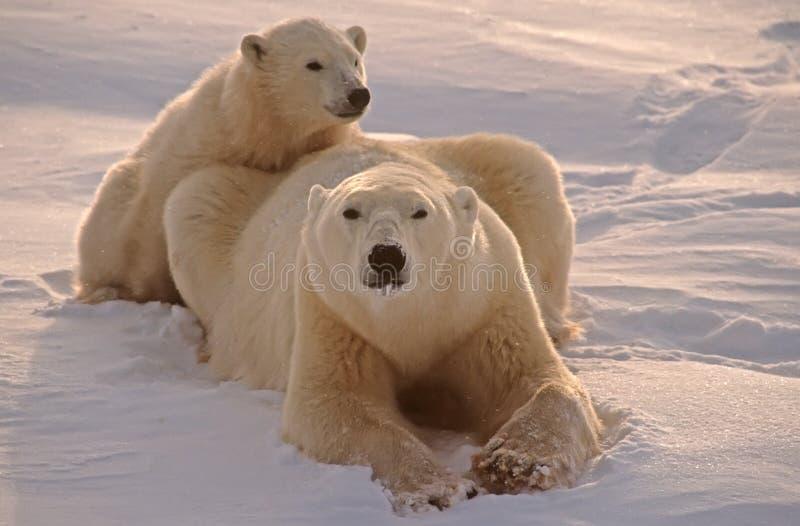 Polar bears stock photos