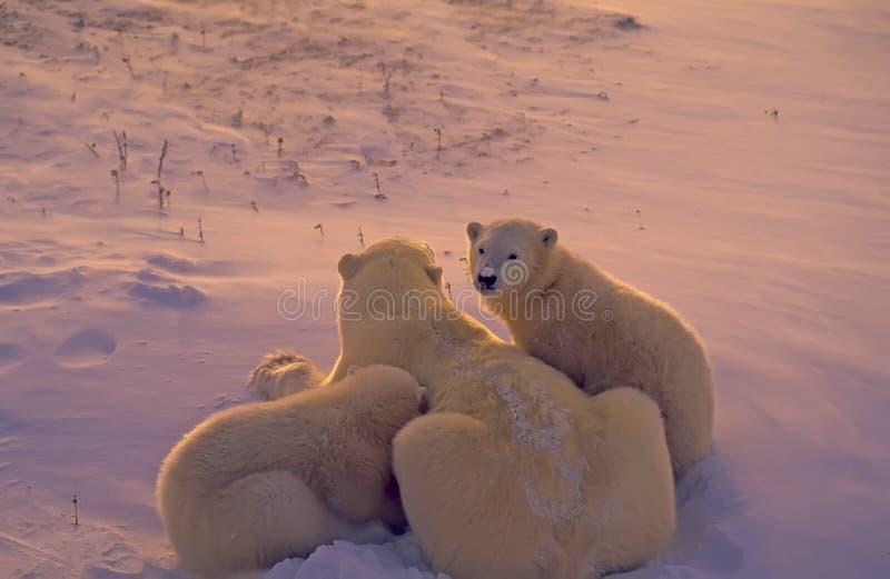 Polar bears in Arctic twilight stock photo