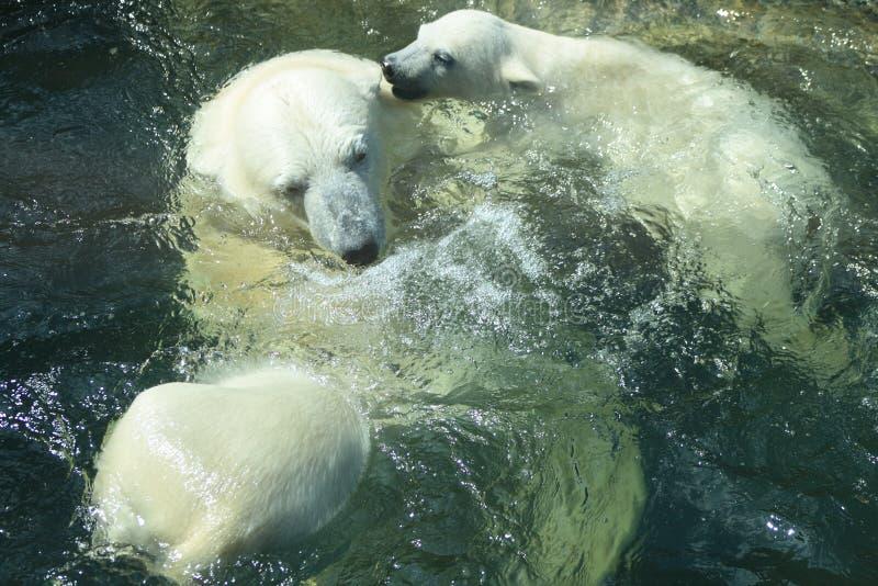 Polar Bears Bathing stock images