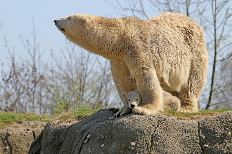 Polar bears. Polar bear mother and child standing on a rock stock images