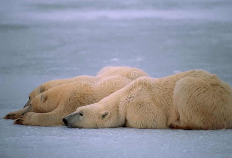 Download Polar Bears In Canadian Arctic Royalty Free Stock Image - Image: 11721236