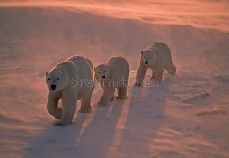 Polar bears in Canadian Arctic stock images