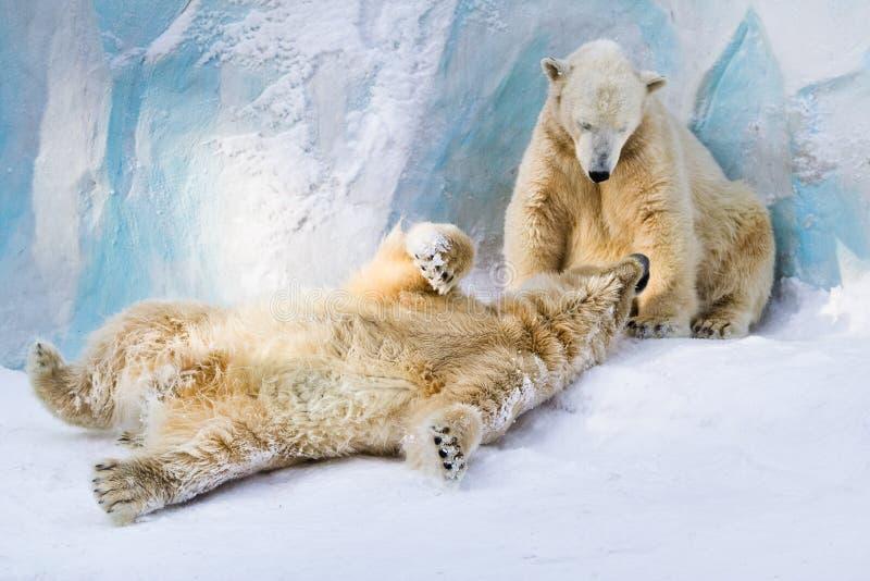 Polar bears couple royalty free stock photography