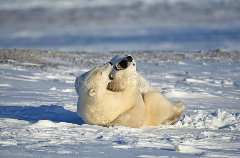 Polar bears fighting,Canadian Arctic royalty free stock images