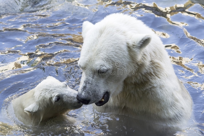 Polar bears greeting royalty free stock image