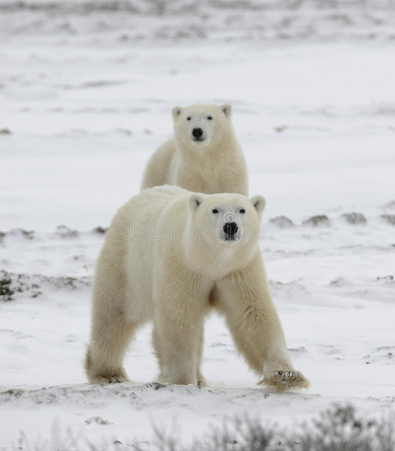 Polar bears have become interested. royalty free stock photography